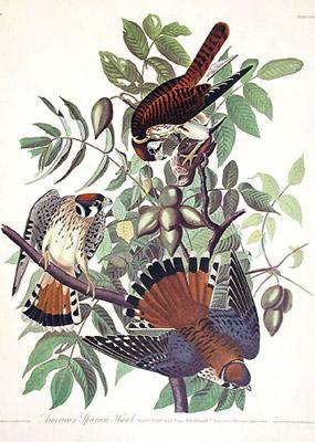 Jean Jacques AUDUBON 117_american-sparrow-hawk