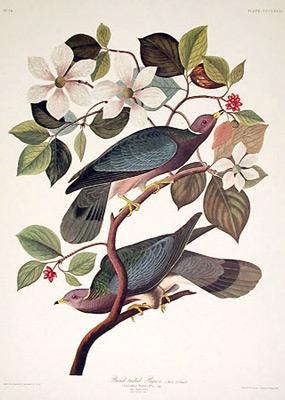 Jean Jacques AUDUBON 223_band-tailed-pigeon