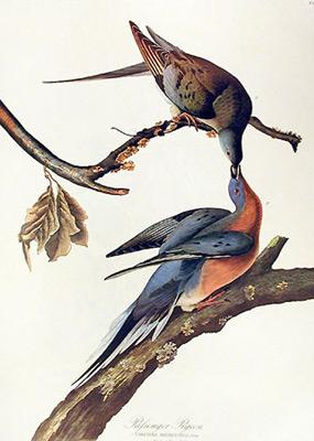 Jean Jacques AUDUBON 226_passenger-pigeon