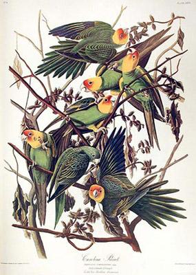 Jean Jacques AUDUBON 230_carolina-parrot