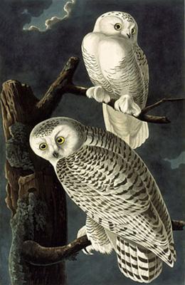 Jean Jacques AUDUBON 237_snowy-owl