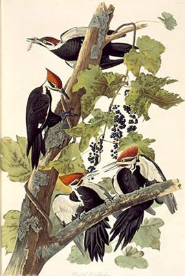 Jean Jacques AUDUBON 255_pileated-woodpecker