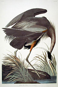 Audubon : le grand H�ron bleu